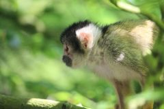 Kleiner Affe-Abschluss oben Lizenzfreie Stockbilder