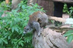 Kleiner Affe-Abschluss oben Stockbild