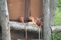 Kleiner Affe-Abschluss oben Stockfoto