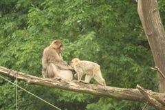 Kleiner Affe-Abschluss oben Stockfotos