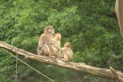Kleiner Affe-Abschluss oben Lizenzfreies Stockbild
