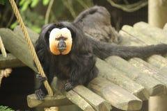 Kleiner Affe-Abschluss oben Lizenzfreie Stockfotografie