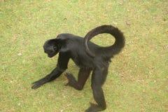 Kleiner Affe-Abschluss oben Lizenzfreies Stockfoto