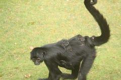 Kleiner Affe-Abschluss oben Lizenzfreie Stockfotos