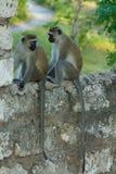 Kleiner Affe in Afrika-Stadt sitzen auf einem Zaun Stockfotos