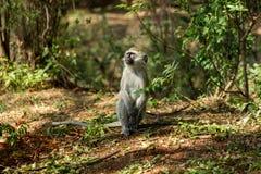 Kleiner Affe in Afrika-wild lebenden Tieren Stockbilder