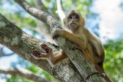 Kleiner Affe auf Baum in Amazonas-Wald Stockfoto