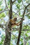 Kleiner Affe auf Baum in Amazonas-Wald Lizenzfreie Stockfotos