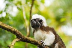 Kleiner Affe auf der Niederlassung des Baums Stockfoto