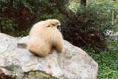 Kleiner Affe auf einem Stein Stockbilder
