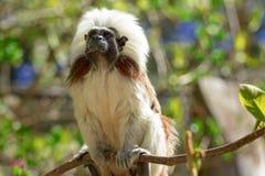 Kleiner Affe - Baumwollespitze in der Reservierung herein in einer Baumkrone Stockbilder