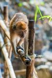 Kleiner Affe Browns geht durch Zaun Stockbild