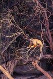 Kleiner Affe, der auf Baum klettert Lizenzfreies Stockfoto