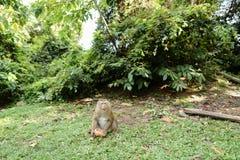 Kleiner Affe, der auf Gras sitzt und Kokosnuss isst Stockfotos