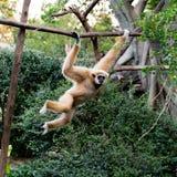 Kleiner Affe, der am Baum hängt Stockbild