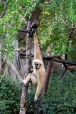 Kleiner Affe, der am Baum hängt Lizenzfreies Stockbild
