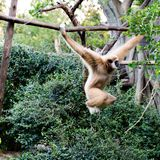 Kleiner Affe, der am Baum hängt Stockfotografie
