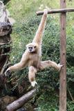 Kleiner Affe, der am Baum hängt Lizenzfreie Stockbilder