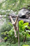 Kleiner Affe, der am Baum hängt Stockbilder