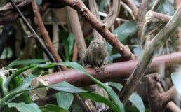Kleiner Affe, der in den Bäumen sich versteckt Lizenzfreies Stockfoto