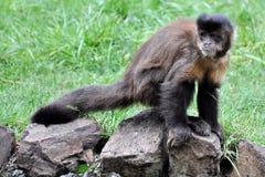 Kleiner Affe, der durchdacht auf einem Felsen und Blicken in sitzt Stockbilder