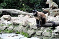 Kleiner Affe, der durchdacht auf Holzbalken und Blicke ich sitzt Stockfotos
