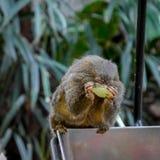 Kleiner Affe, der eine köstliche Traube isst Stockbild