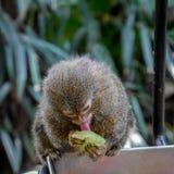 Kleiner Affe, der eine köstliche Traube leckt Lizenzfreie Stockbilder