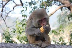 Kleiner Affe, der einen Zuckermais isst stockfotografie