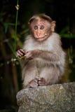 Kleiner Affe, der herum im Bambuswald schaut Stockfotos