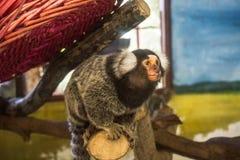Kleiner Affe, der im Zoo schaut Lizenzfreies Stockfoto