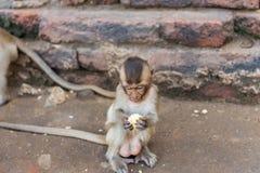 Kleiner Affe, der Mais isst Lizenzfreies Stockbild