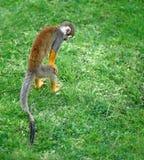 Kleiner Affe, der nach etwas im Gras sucht Lizenzfreie Stockfotos