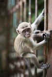 Kleiner Affe, der an zum Zaun hält Stockfoto