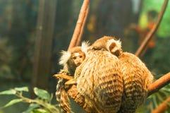 Kleiner Affe des gemeinen Seidenäffchens Stockbilder