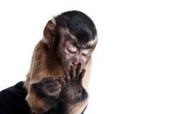 Kleiner Affe, ein Porträt im Studio Stockbild