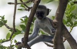 Kleiner Affe in einer Baumkrone Stockfotos