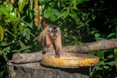 Kleiner Affe im Blaufisch, Pantanal, Brasilien Lizenzfreie Stockfotografie