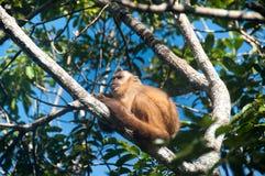 Kleiner Affe im Blaufisch, Pantanal, Brasilien Stockbilder