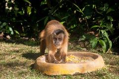 Kleiner Affe im Blaufisch, Pantanal, Brasilien Stockfoto
