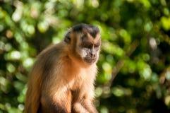 Kleiner Affe im Blaufisch, Pantanal, Brasilien Stockfotografie