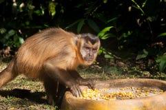 Kleiner Affe im Blaufisch, Pantanal, Brasilien Lizenzfreies Stockbild