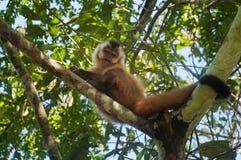 Kleiner Affe im Blaufisch, Pantanal, Brasilien Lizenzfreie Stockfotos