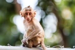 Kleiner Affe (Makaken Krabbe-essend) Stockbilder