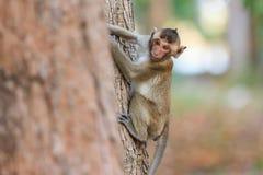Kleiner Affe (Makaken Krabbe-essend) auf Baum Stockfotos