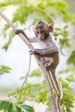 Kleiner Affe (Makaken Krabbe-essend) auf Baum Stockbilder