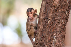 Kleiner Affe (Makaken Krabbe-essend) auf Baum Stockfotografie