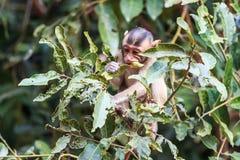 Kleiner Affe (Makaken Krabbe-essend) auf Baum Stockbild