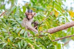Kleiner Affe (Makaken Krabbe-essend) auf Baum Lizenzfreies Stockfoto