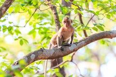 Kleiner Affe (Makaken Krabbe-essend) auf Baum Stockfoto